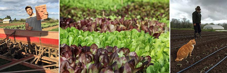 lettuceguys