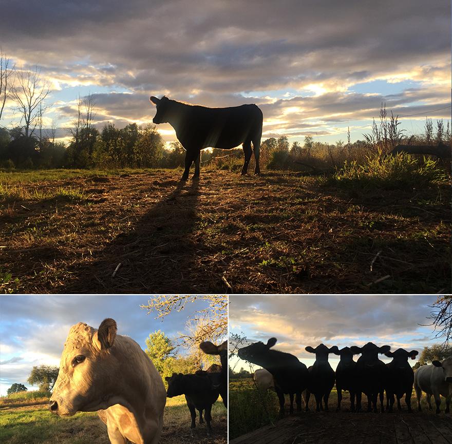 cowsfall
