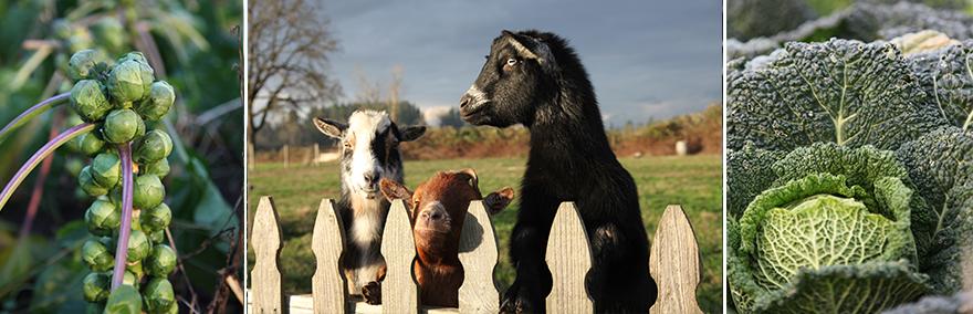 goatbrussels