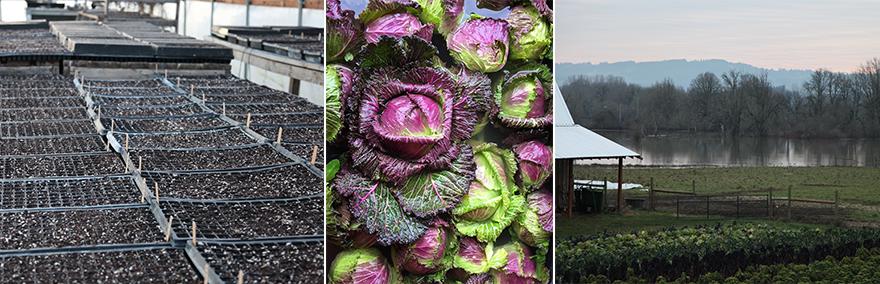 cabbageseeds